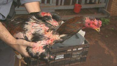 Treze são presos e menor apreendido em rinha de galos em Sertãozinho, SP - Chácara era usada como cativeiro e local de lutas das aves, diz polícia. Cada um dos envolvidos foi multado em R$ 276 mil por maus-tratos.