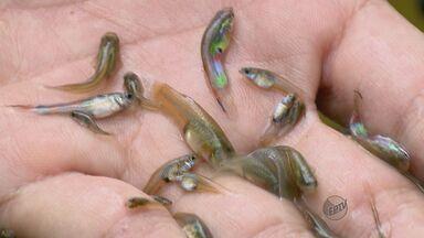Prefeitura de Alfenas (MG) adota peixe para ajudar no combate à dengue - Prefeitura de Alfenas (MG) adota peixe para ajudar no combate à dengue