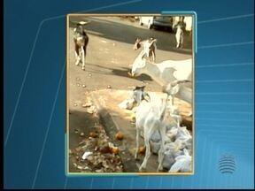 Bodes são vistos revirando lixo em Pres. Epitácio - Animais foram flagrados por uma moradora.