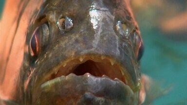 Ataques de piranhas afastam banhistas no Rio Grande (SP) - Nos últimos dias, 20 pessoas foram atacadas pelas piranhas em Populina. Muitas das vítimas foram parar na Santa Casa da cidade.