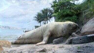Elefante marinho 'Fred' reaparece em praia de Vila Velha, no ES - Animal foi identificado por causa das cicatrizes que tem pelo corpo.Elefante marinho recebeu apelido por não se mexer muito.