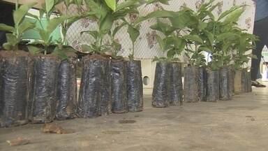 Prefeitura de Porto Velho distribui mudas de café Conilon - Produtores rurais da região de Porto Velho ganharam hoje mudas de café Conilon da prefeitura. Eles fazem parte de um projeto que começou ano passado e deve fechar esse ano com um milhão de mudas.