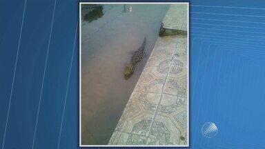 Telespectadora encontra jacaré na porta de casa em Santo Amaro, Recôncavo Baiano - O animal foi resgatado por uma equipe do Ibama; veja as imagens.