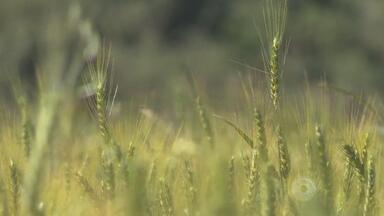 Plantio direto garantiu o dobro de produtividade de trigo - Assista ao vídeo.
