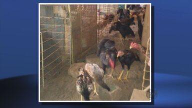 Polícia apreende mais de 100 galos usados em rinhas em Varginha, MG - Polícia apreende mais de 100 galos usados em rinhas em Varginha, MG
