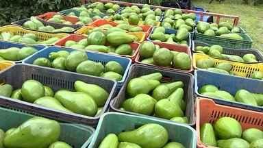 É tempo de colher abacate na região - Dênis Éverton Vaz cultiva abacate em Arealva (SP) há 30 anos. Atualmente, planta cinco variedades da fruta em 105 hectares. E o Nosso Campo descobriu que toda a produção é vendida nos Estados de São Paulo, Rio de Janeiro, Ceará e Pará.