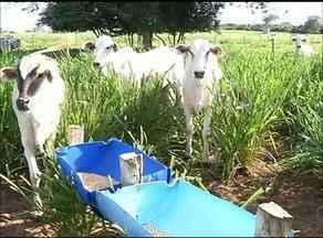 Suplementaçāo em bovinos é implantada por estudante de zootecnia em Araguaína - Suplementaçāo em bovinos é implantada por estudante de zootecnia em Araguaína