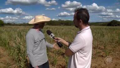 Chuvas irregulares em Paulistana, no Sul do Piauí, castigam as plantações - Chuvas irregulares em Paulistana, no Sul do Piauí, castigam as plantações
