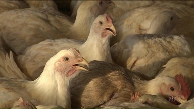 Sem ventilação, milhares de frangos morrem em granja de Londrina nesta sexta-feira - Equipamentos pararam de funcionar porque faltou energia elétrica.