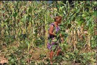 Agricultores do Crato estimam perda da safra em até 80% - Agricultores do Crato estimam perda da safra em até 80%