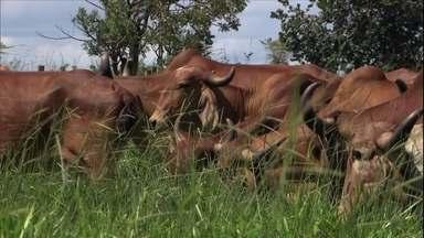 Pesquisador explica como criar vacas leiteiras no pasto em propriedades pequenas - O zootecnista Leonardo De Oliveira Fernandes mostra como funciona o sistema de pastejo rotacionado, com cerca elétrica e gado zebu leiteiro, próprio para este tipo de criação.