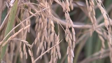 Queda na colheita de arroz deve afetar diretamente o bolso do consumidor - Queda na colheita de arroz deve afetar diretamente o bolso do consumidor