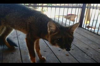 Raposa é resgatada no Bairro Jaraguá em Uberlândia - Animal foi encontrado na madrugada deste sábado (14). Raposa não apresentava ferimentos e foi solta em reserva florestal.