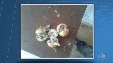 Maconha é encontrada dentro três de cebolas em Barreiras, no oeste do estado - Segundo a polícia, a droga seria entregue para um dos detentos durante a hora da visita; veja.