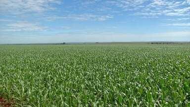 Milho valorizado faz agricultor desistir de negócios com contratos antecipados em MS - O preço do milho no mercado à vista segue valorizado em Mato Grosso do Sul. Situação que está fazendo agricultor desistir dos negócios com contratos antecipados.