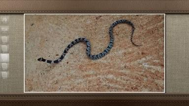 Saiba mais sobre a cobra Dormideira - A cobra Sibynomorphus Turgidus, conhecida como Dormideira, tem hábitos noturnos, gosta de lugares úmidos e, quando ameaçada, costuma esconder a cabeça sob voltas do corpo. Pode até morder, mas é raro e a boa notícia é que ela não é venenosa.
