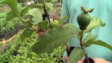 Saiba mais sobre como funciona a clonagem de mudas de plantas frutíferas - Uma técnica que garante a padronização de forma, cor, sabor e tamanho.