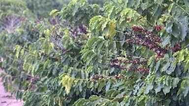 Produtores estão otimistas com safra de café - Grão de café vermelho no pé é sinal de colheita à vista. Na propriedade de José Wilson Lopes, em Garça (SP), o trabalho foi antecipado em um mês. Tudo por causa do calor.