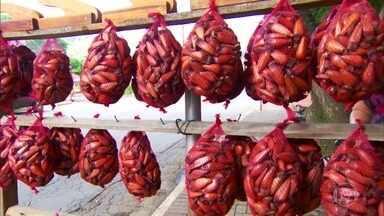 Pinhão acelera metabolismo e reduz colesterol e glicemia, dizem estudos - Pesquisadores da Embrapa em parceria com universidades brasileiras estão estudando uma das sementes mais saborosas e nutritivas da Mantiqueira.