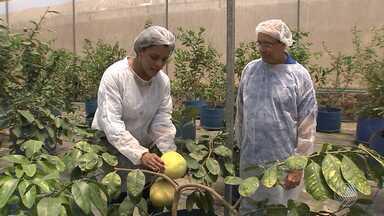 Agricultura do futuro: pesquisadores desenvolvem plantações mais resistentes à seca - Conheça o trabalho desenvolvido em Cruz das Almas, no Recôncavo Baiano.