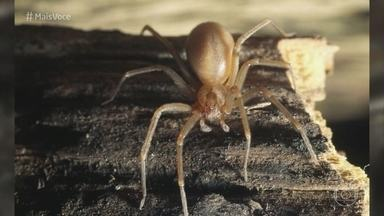 Ana Maria faz alerta sobre acidentes com aranha marrom - Saiba como identificar a aranha marrom, que tem cerca de 4 cm, mas pode até matar uma pessoa
