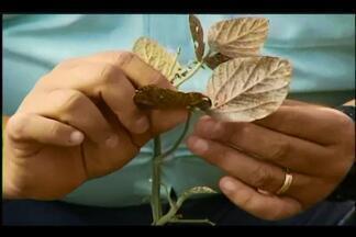IMA inicia fiscalização em plantações de soja em Uberaba - Produtores devem extinguir plantas até setembro para evitar fungos. De acordo com o IMA, punição compreende autuação e aplicação de multa.