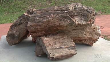 Fóssil de 275 milhões de anos é atração no campus da UEL - Trata-se de troncos de árvores encontrados na região de Ortigueira por um professor da UEL na região. O achado é importando porque permite estudar e conhecer como era a geografia da região.