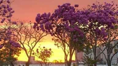 Ipês mudam a paisagem do DF durante o inverno - As árvores deixam a cidade mais bonita.