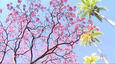 Início da florada dos ipês encanta quem passa pelas ruas de Belo Horizonte - A capital mineira tem nove espécies catalogadas e nem todas vão dar flores agora. O ipê amarelo, por exemplo, só a partir de agosto.