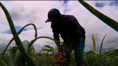 Produtores de cebola lamentam diminuição do preço do produto - O preço da saca de 20 quilos era R$70,00, agora não passa dos R$7,00 em Santa Maria da Boa Vista