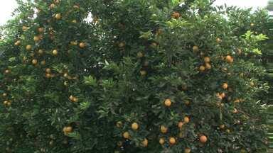 Assista ao 1º bloco do Caminhos do Campo do dia 17 de julho de 2016 - Durante a colheita da laranja, a retomada do preço da fruta no Paraná