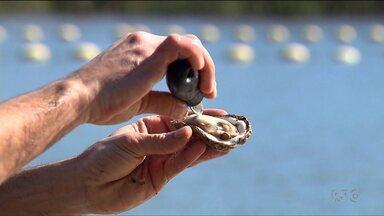 Está liberado o consumo de ostras e mariscos no litoral - A proibição foi por causa da maré vermelha/ Durante três semanas da proibição, novas análises mostram que não há mais contaminação!