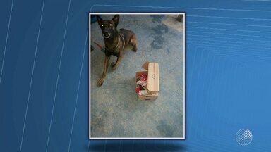 Cão farejador ajuda a encontrar drogas em Feira de Santana - O cãozinho encontrou haxixe em um chocolate após suspeita e denúncia de um porteiro; confira na reportagem.