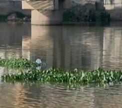 Baixo nível de água favorece retorno de aguapés ao Rio Itapecerica em MG - Planta aquática que foi problema em 2014 volta a aparecer em Divinópolis. Copasa diz que abastecimento não é afetado; Prefeitura promete limpeza.