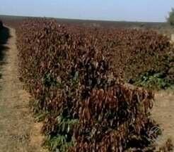 Agricultores contabilizam prejuízos após geada em MG - Fenômeno danificou 14 milhões de pés de café em Serra do Salitre. Estimativa de safra boa só em 2019.