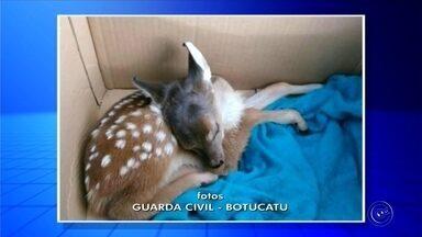 Veado catingueiro é resgatado depois de se perder em distrito de Botucatu - Um filhote de veado catingueiro foi resgatado, na noite de domingo (14), pela equipe da Guarda Civil de Botucatu (SP), às margens da Rodovia Alcides Soares, no distrito de Vitoriana.