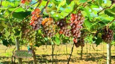 Jornal do Campo mostra rodízio de poda na plantação de uvas no ES - O Jornal do Campo deste domingo começa um pouquinho mais cedo, às 6h45 da manhã, na TV Gazeta.