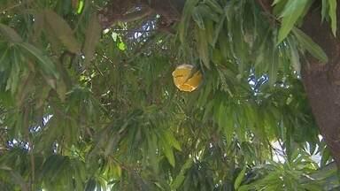 Ministério da agricultura intensifica ações de combate à mosca da carambola no Amapá - Há 20 anos o Amapá convive com a mosca da carambola, o que proíbe o estado de exportar frutas. A superintendência federal do ministério da agricultura no estado está intensificando as ações de combate à praga.