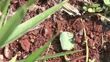 Pesquisador testa o uso de fungos para combater infestação de formigas - Ele vem conseguindo bons resultados com a espécie de formiga cortadeira.