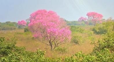 Estreia da série 'Aflora Ms', mostra a paixão por ipês e outras belezas do Cerrado - Estreia da série 'Aflora Ms', mostra a paixão por ipês e outras belezas do Cerrado
