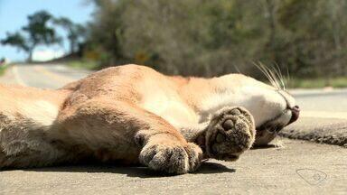 Onça parda é encontrada morta na estrada entre Cariacica e Santa Leopoldina - A onça parda é considerada um animal raro. Um cachorro do mato também foi encontrado.
