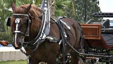 Raça de cavalo exótica chama a atenção pela elegância - Cavalo é um animal que já encanta muita gente. Imagine, então, ficar diante de uma raça pouco conhecida no Brasil e que se destaca pela beleza. Não há como se manter indiferente.