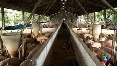 Por causa da crise, suinocultores pedem ajuda em Brasília - A situação dos criadores de suínos é preocupante. Os altos custos com a alimentação dos animais levaram os produtores a pedir ajuda ao Governo, em Brasília.