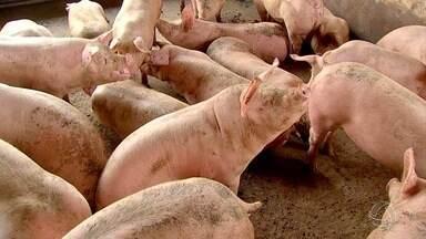 Câmara Federal dicute crise da suinocultura - Os criadores dizem que são os mais prejudicados da cadeia produtiva com o aumento os custos de produção.