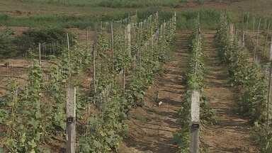 Programa de ressocialização 'Fazenda Futuro' deverá ser ampliado - Apenados trabalham na horta.