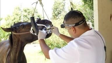 Tratamento dentário é fundamental para a saúde dos cavalos - A falta de acompanhamento pode causar ferimentos nos animais.