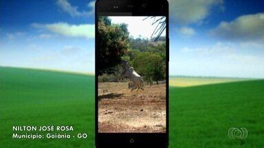 Confira imagens do campo enviadas por telespectadores - Imagem de vaca pulando para pegar manga no pé chama atenção de produtor.
