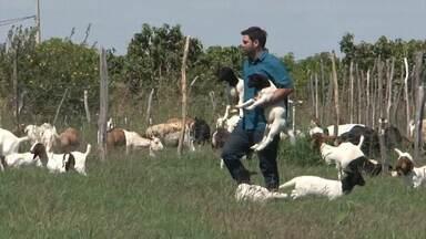 Criadores de caprinos do Vale do São Francisco investem na técnica artifical de reprodução - Para os especialistas, os ganhos são de quantidade e de qualidade genética dos animais.