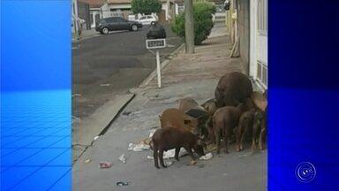 Porcos são flagrados revirando lixo em calçada de Marília - Moradores do bairro Palmital em Marília registraram porcos remexendo o lixo, o que mais uma vez aponta as falhas na coleta de lixo na cidade.