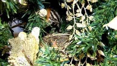 Tico-tico faz ninho em árvore de Natal - Avezinha muda rotina de família em São Carlos (SP).